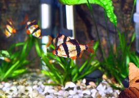 La vida de los peces barbo naranja