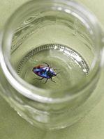 Cómo identificar un escarabajo carroñero del agua