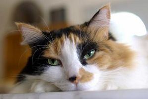 Cómo saber si su gato tiene enfermedad del hígado graso