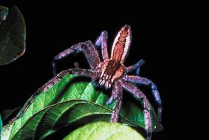 Arañas comunes de caza