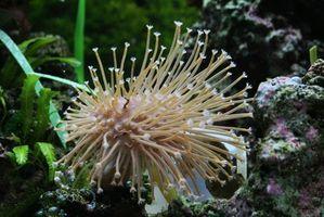 Información seta Coral suave