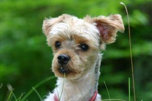 Cómo tomar cuidado de Morkie Puppies