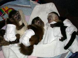 Cómo encontrar los monos capuchinos para la venta