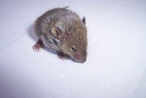 Tratamiento para ácaros en ratones