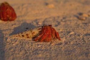 Clases de cangrejos ermitaños en Carolina del sur