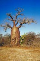 Las adaptaciones del árbol de Baobab