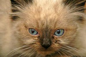 Tipos de gatitos Himalaya