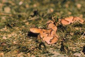 Especies de serpientes en sur de Georgia