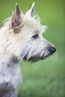 Cómo detener el comportamiento agresivo en Cairn Terriers