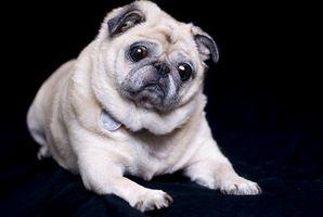 Tratamientos alternativos para la displasia de cadera en perros