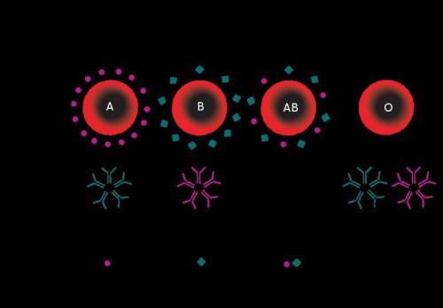 ¿Qué determina los anticuerpos de ABO que una persona desarrolla?