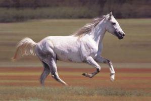 Consejos para afeitar la boca de un caballo árabe