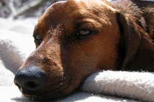 Tratamiento para problemas respiratorios para los perros