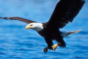 ¿Qué adaptaciones permiten águilas sobrevivir?