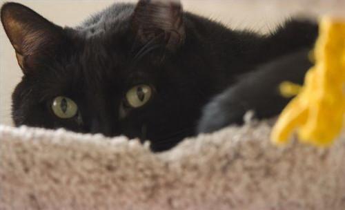 Cómo controlar y gestionar los cristales de estruvita en gatos