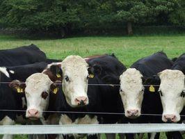 Signos y síntomas de la Tuberculosis bovina
