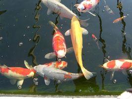 Cómo armar un estanque de Koi