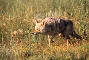 Diferencias entre lobos y Coyotes