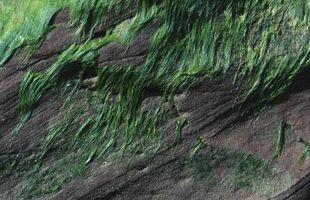 Tipos de algas en aguas residuales
