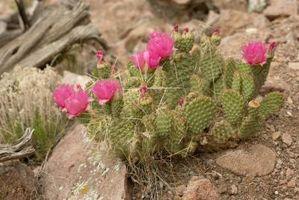 Cómo pintar un Cactus Texas