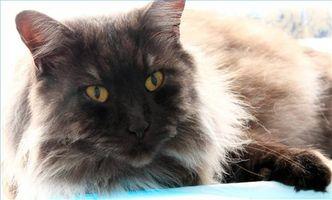 Causas de vómito de gato y la pérdida de peso