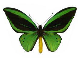 El hábitat de alas mariposa de la reina Alejandra