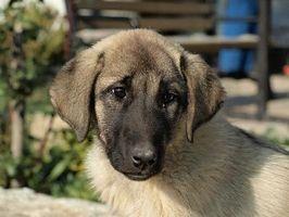 Síntomas de la infección del riñón en perros