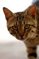 Gato violento al azar comportamiento