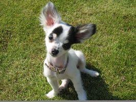 Cómo cuidar de un Chihuahua con pulgas