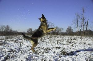 Shephard alemán perros consejos de entrenamiento