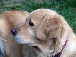 Ojos hinchados en Golden Retriever
