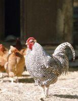 ¿Qué alimento mis gallos?