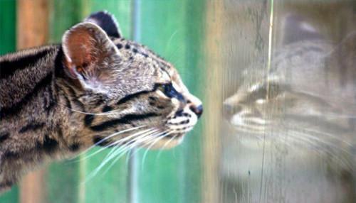 Direcciones de Otomite Plus para gatos