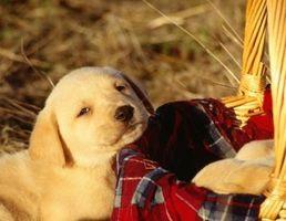 Cómo preparar un Labrador Retriever amarillo