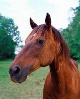 Asesoramiento gratuito y tratamiento para las úlceras de la boca de los caballos