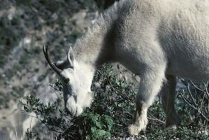 Cómo alimentar cabras y ovejas
