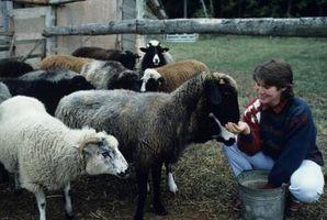 Cómo elegir tu oveja