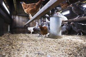 Cómo obtener gallinas al gallinero