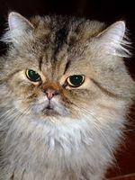 Sobre el uso de Betadine para el tratamiento de la tiña en gatos