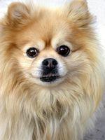 Formación Potty cachorro Pomerania