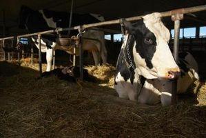 Juegos de vaca ordeño