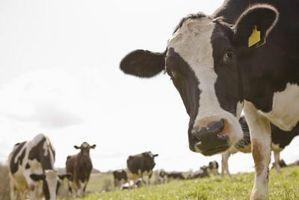Cómo alimentar el quelpo comida para el ganado