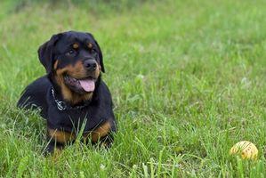 Cómo poner peso sobre un cachorro de Rottweiler con una dieta
