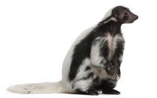Cómo una hembra de un macho Skunk