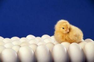 Cómo hacer pollo huevos durante la incubación