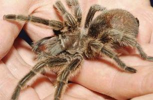 Cómo identificar una araña marrón con manchas blancas