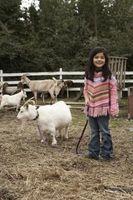 Cómo alimentar cabras Mini