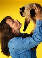 Clasificación científica de un Gato siamés