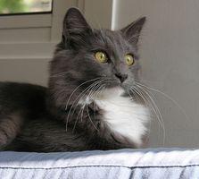 Toxicidad de la permetrina en los gatos