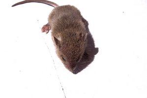 Cómo matar humanamente ratones